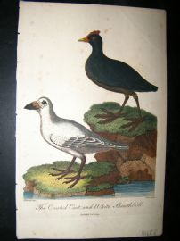 After George Edwards C1800 Hand Col Bird Print. Crested Coot & White Sheathbill